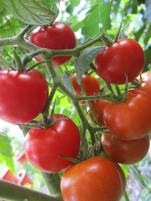 mexikanische honigtomate tomaten und anderes gem se. Black Bedroom Furniture Sets. Home Design Ideas