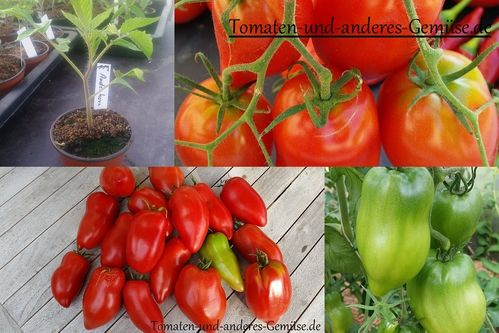 Andenhorn Tomate Jungpflanze