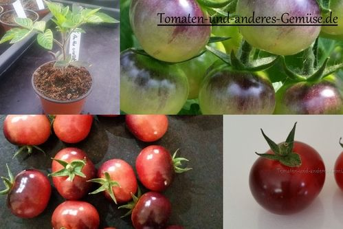 Antho violettrot Tomaten Jungpflanze