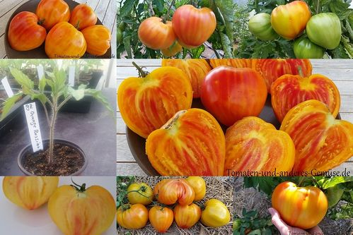 Orange Russian Tomate Jungpflanze