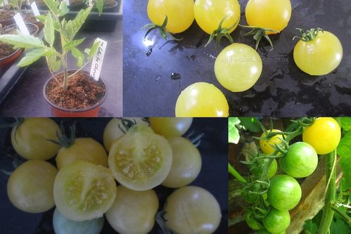 White Cherry Tomaten Jungpflanze