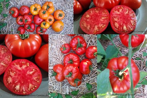 Brandywine Red Fleischtomate Tomate Jungpflanze